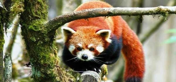 Darjeeling red-panda